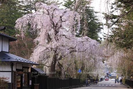 角館 武家屋敷の枝垂れ桜の素材 [FYI00980650]