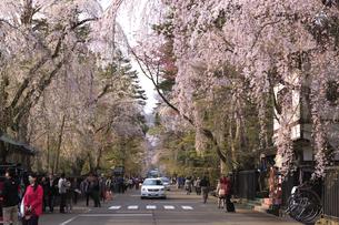 角館 武家屋敷の枝垂れ桜の素材 [FYI00980653]