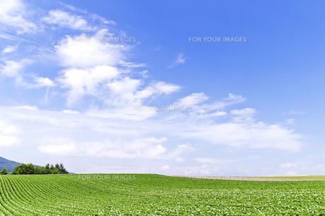 花咲くジャガイモ畑の丘の素材 [FYI00982108]