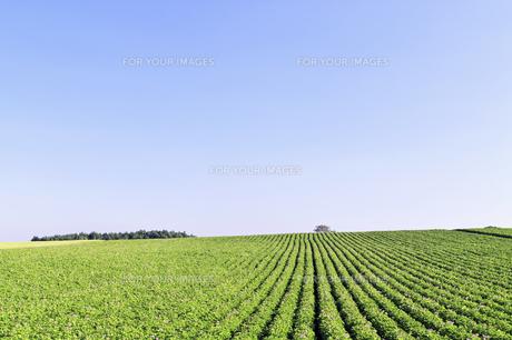 なだらかな丘のジャガイモ畑の畝の素材 [FYI00982144]