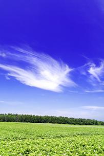 夏のジャガイモ畑と青空の素材 [FYI00982191]