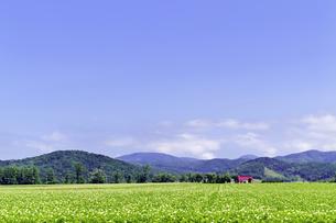 広いジャガイモ畑の夏景色の素材 [FYI00982204]