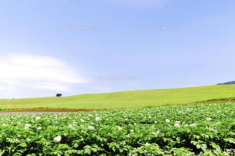 花咲くジャガイモ畑と小麦畑の丘の素材 [FYI00982207]