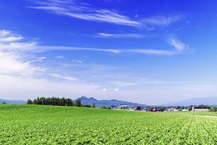 花咲く広大なジャガイモの畑の素材 [FYI00982215]