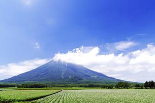 羊蹄山と花咲くジャガイモ畑の素材 [FYI00982216]