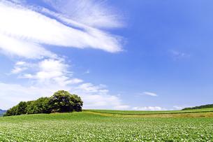 花咲くジャガイモ畑の丘の素材 [FYI00982233]