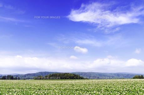 ジャガイモの花咲く大地と青空の素材 [FYI00982255]
