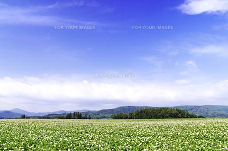 ジャガイモの花咲く大地と青空の素材 [FYI00982269]