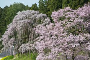 合戦場のしだれ桜の写真素材 [FYI00986541]