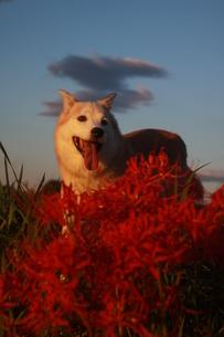 笑顔の犬と満開の彼岸花の写真素材 [FYI00986705]