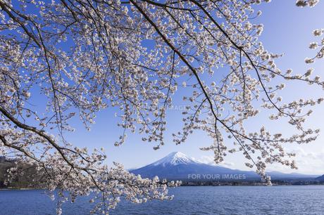 陽春の河口湖の写真素材 [FYI00986747]