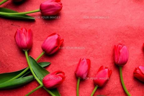 赤いチューリップ 赤色背景の写真素材 [FYI00987093]