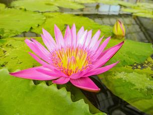大きな蓮の花の写真素材 [FYI00987361]