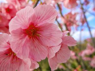 桜の花の写真素材 [FYI00987366]