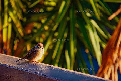 見つめる雀の写真素材 [FYI00987809]