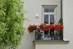 ヴァイサーヒルシュの窓飾り(ドイツ・ドレスデン)の写真素材 [FYI00987841]