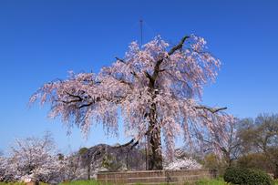 円山公園のしだれ桜の素材 [FYI00988445]