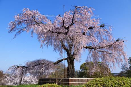 円山公園のしだれ桜の素材 [FYI00988447]