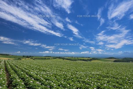 ジャガイモ畑の素材 [FYI00988770]