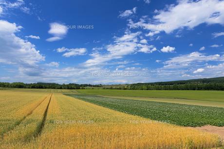 麦畑とジャガイモ畑の素材 [FYI00988820]