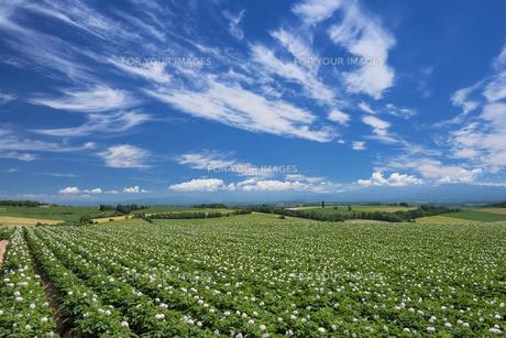 ジャガイモ畑の素材 [FYI00988843]