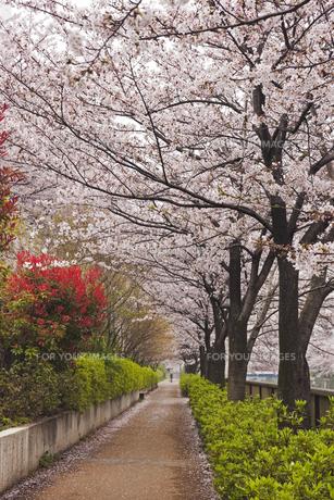 目黒川沿いの桜並木の素材 [FYI00989028]