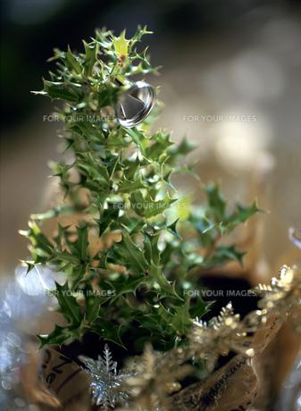 ヒイラギのクリスマスツリーの素材 [FYI00989977]