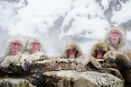 温泉に入る猿の素材 [FYI00992295]