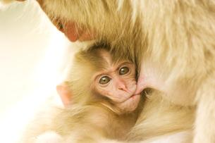 授乳中の日本猿の親子の素材 [FYI00992365]