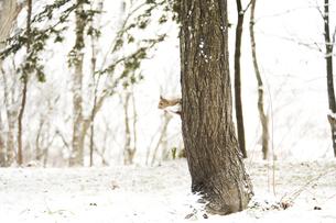 雪の積もった森のリスの素材 [FYI00992369]
