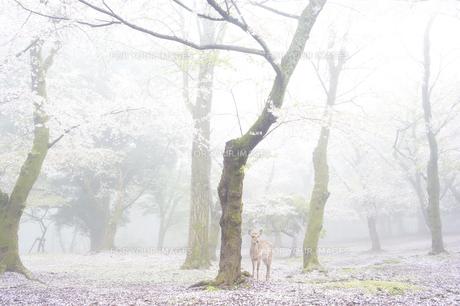 霧の中の桜とシカの素材 [FYI00992530]