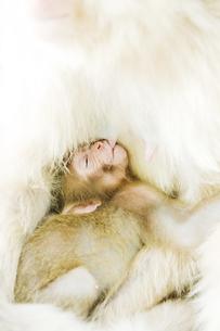 授乳中の赤ちゃん猿の素材 [FYI00992534]