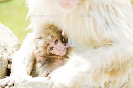授乳中の赤ちゃん猿の素材 [FYI00992547]