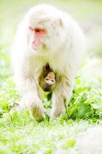 移動中の猿の親子の素材 [FYI00992554]