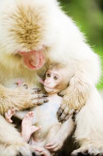 授乳中の赤ちゃん猿の素材 [FYI00992556]