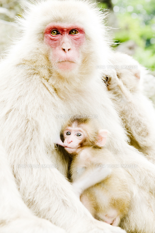 授乳中の赤ちゃん猿の素材 [FYI00992561]