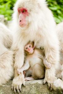 授乳中の日本猿の親子の素材 [FYI00992566]