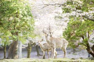 桜とシカの素材 [FYI00992597]