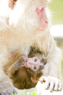授乳中の赤ちゃん猿の素材 [FYI00992600]