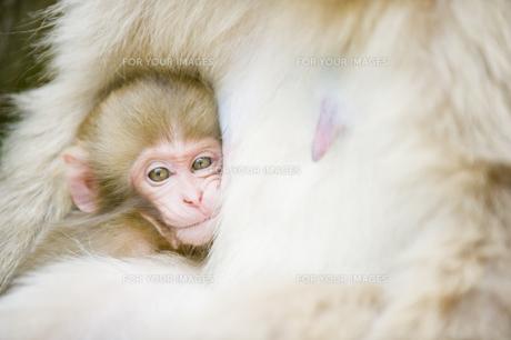 授乳期の赤ちゃん猿の素材 [FYI00992612]