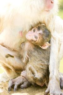 授乳中の赤ちゃん猿の素材 [FYI00992629]