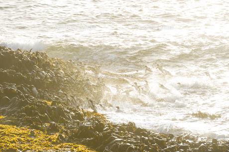 陸へ上がるイワトビペンギンの群れの素材 [FYI00992702]