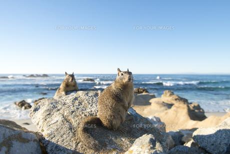 海辺の岩の上で休憩するリスの素材 [FYI00992857]