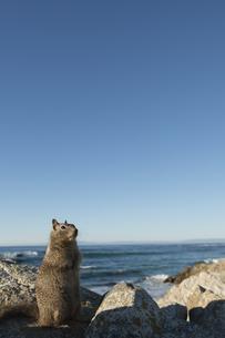海辺の岩の上で休憩するリスの素材 [FYI00992886]