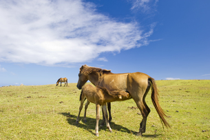 授乳中の与那国馬の素材 [FYI00992997]