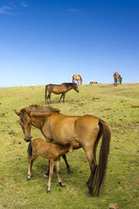 授乳中の与那国馬の素材 [FYI00992999]