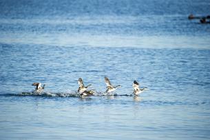 水面を移動する鳥の素材 [FYI00993067]