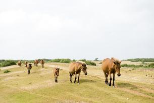 群れで移動する与那国馬の素材 [FYI00993217]
