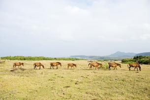 群れで移動中の与那国馬の素材 [FYI00993256]