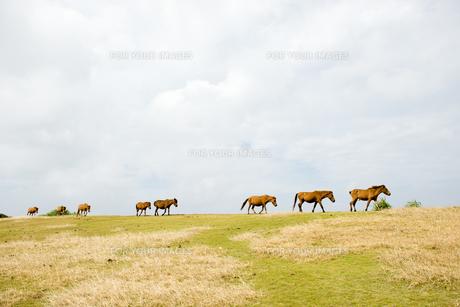 群れで移動する与那国馬の素材 [FYI00993293]